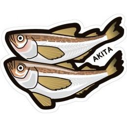Japanese sandfish (Akita)